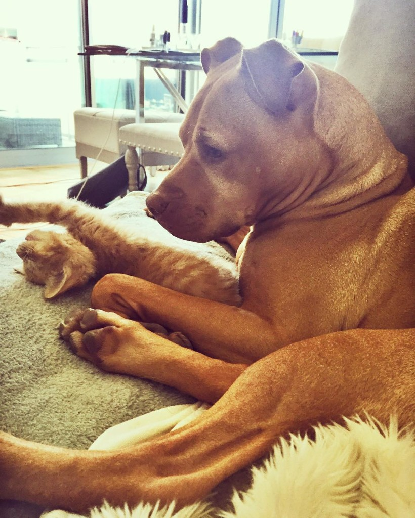 dog-likes-cats-ginger-pit-bull-bubba-loves-rue-13