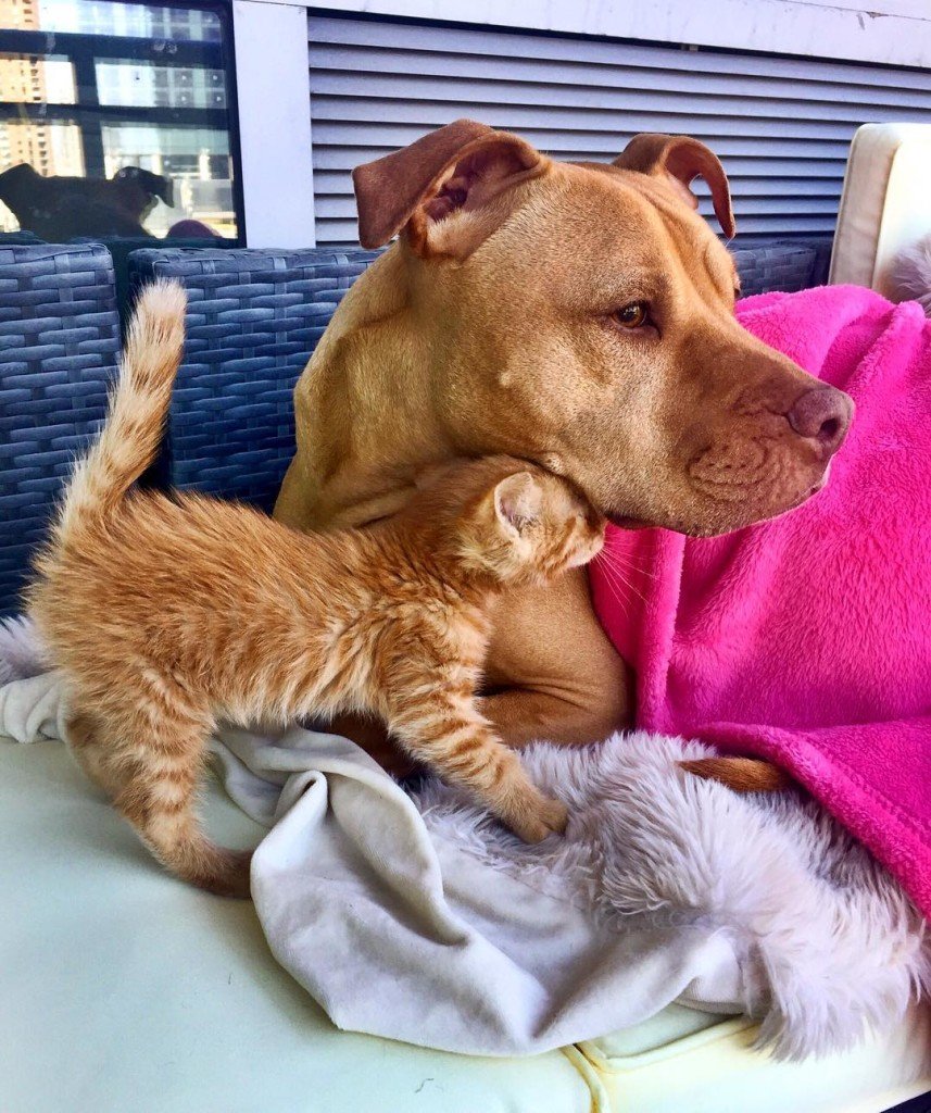 dog-likes-cats-ginger-pit-bull-bubba-loves-rue-14 (2)