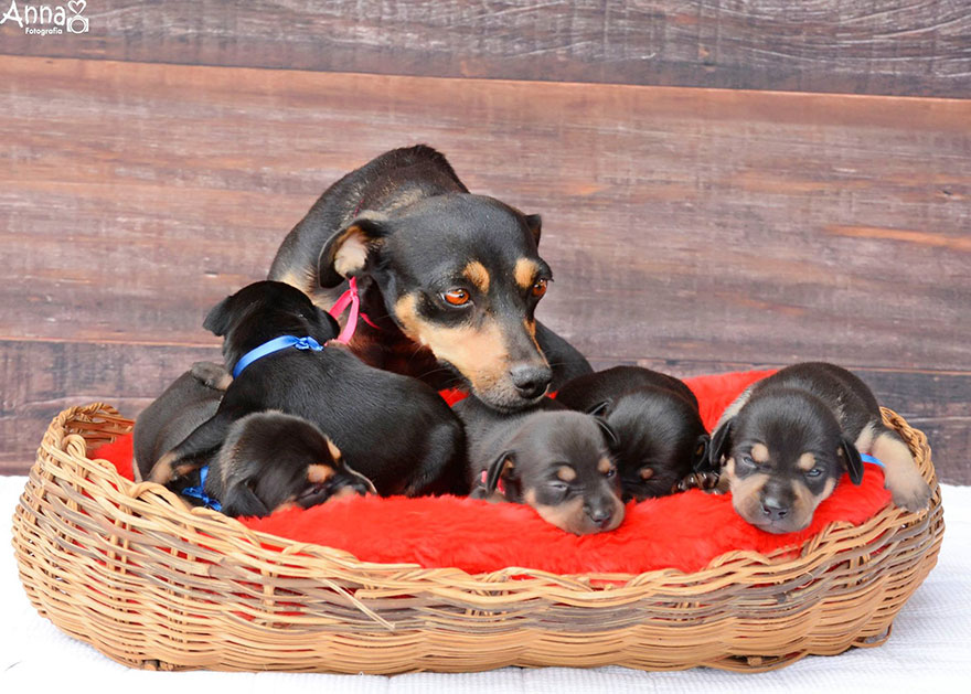 dog-maternity-photoshoot-puppies-lilica-ana-paula-grillo-13