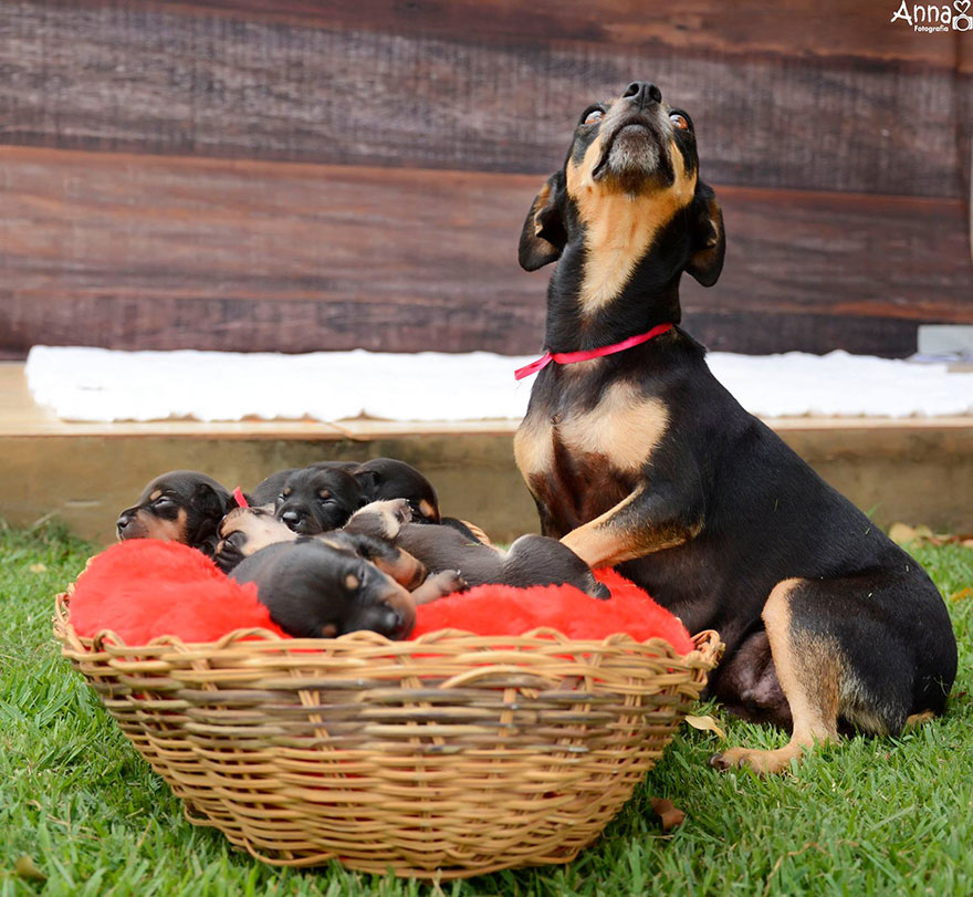 dog-maternity-photoshoot-puppies-lilica-ana-paula-grillo-4