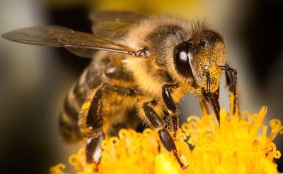 méhcsipes