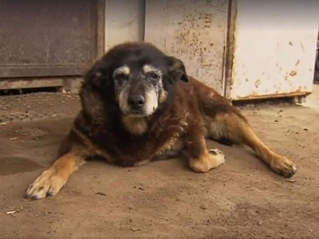 maggie-the-kelpie-oldest-dog