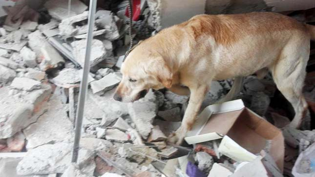 "Pic shows: Dayko. A rescue dog who was hailed a hero for helping save as many as seven peopleís lives in the aftermath of the recent Ecuador Earthquake has died from exhaustion. Dakyo was a white four-year-old Labrador who formed part of the fire service and joined the rescue efforts in Pedernales, one of the most damaged areas in the northwest Ecuadorian province of Manabi, Dayko fue un hČroe en medio de la mayor tragedia en Ecuador de los żltimos 60 aŇos: logrŰ salvar muchas vidas, en la zona m·s golpeada por el terremoto. On their Facbook page the fire service made the saddening announcement that the canine had died whilst being checked on by a vet. They worte: ""Thank you Dayko for your heroic work in Pedernales and in the various emergencies where you were present, you held high the name of the K9 Unit."" A mixture of the heat, dehydration and the huge effort he had made during the rescue missions proved too much for him. The medical team tried everything they could to save him, but it was to no avail. Daykoís job was to find survivors in the rubble, leading to the rescue of at leastseven people, that might not have been found otherwise. Local media has hailed his as the dog who gave his life for his work and has received many admiring comments and condolences on social media. (ends)"