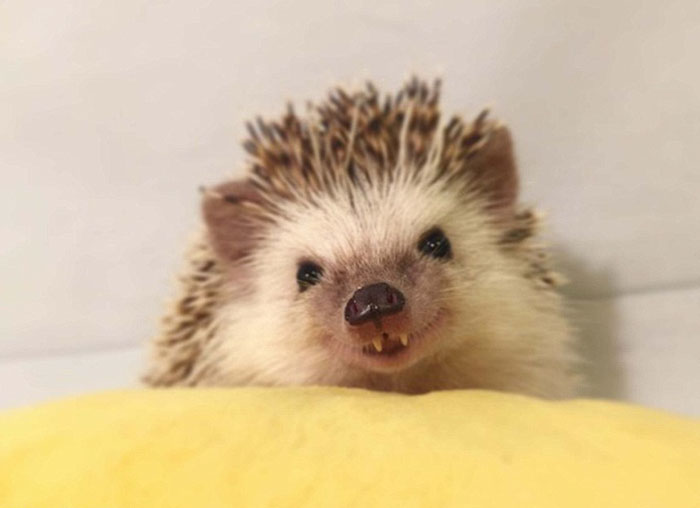 vampire-hedgehog-fangs-hodge-huffington-29