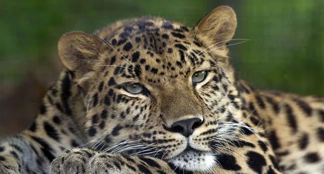 amur-leopard-12