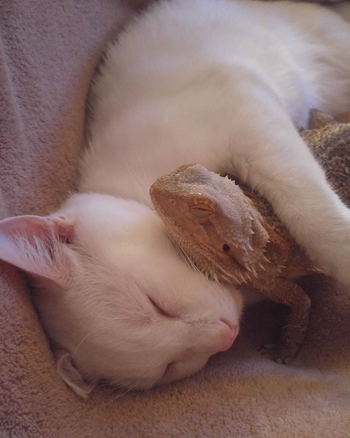 bearded-dragon-cat-friendship-sleep-together-charles-baby-10