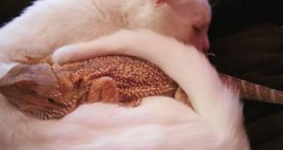bearded-dragon-cat-friendship-sleep-together-charles-baby-2