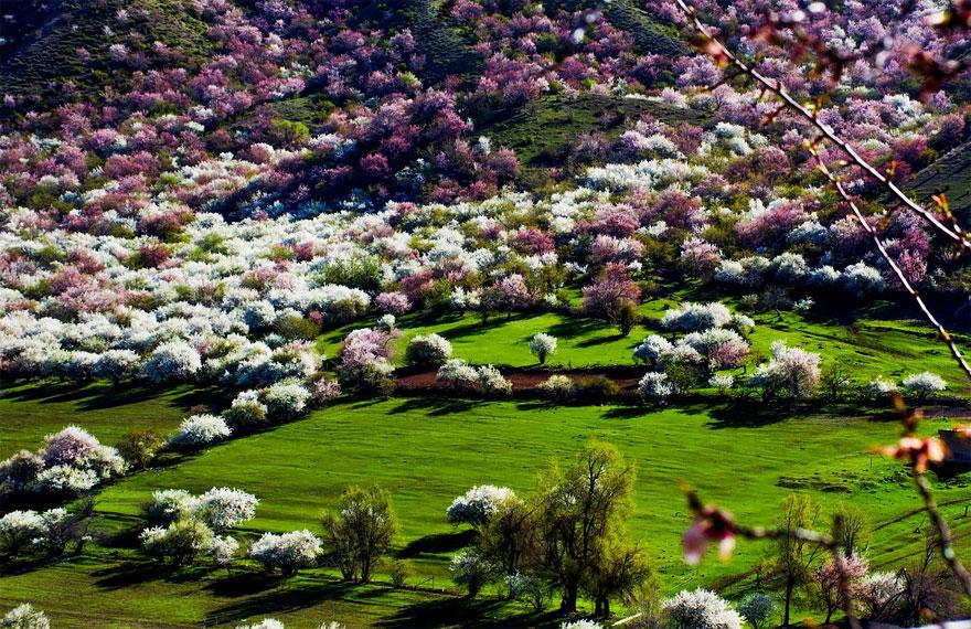 blooming-apricot-valley-yili-china-18