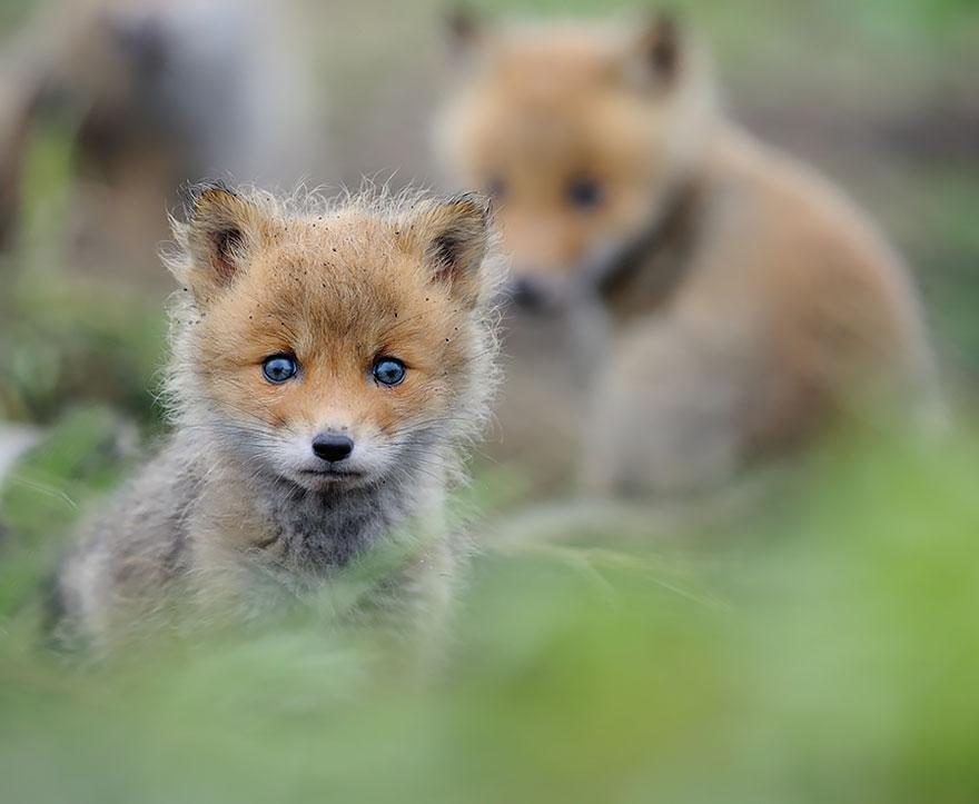 cute-baby-foxes-21-574436a939d5e__880