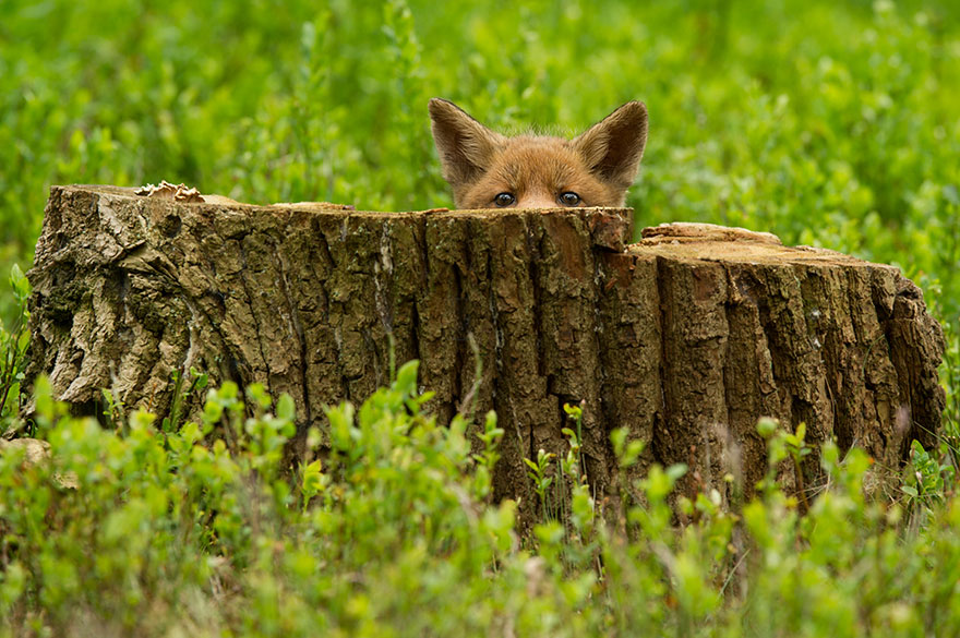 cute-baby-foxes-57443883ed001__880