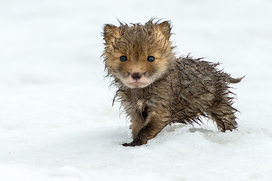 cute-baby-foxes-8-574436a046464__880