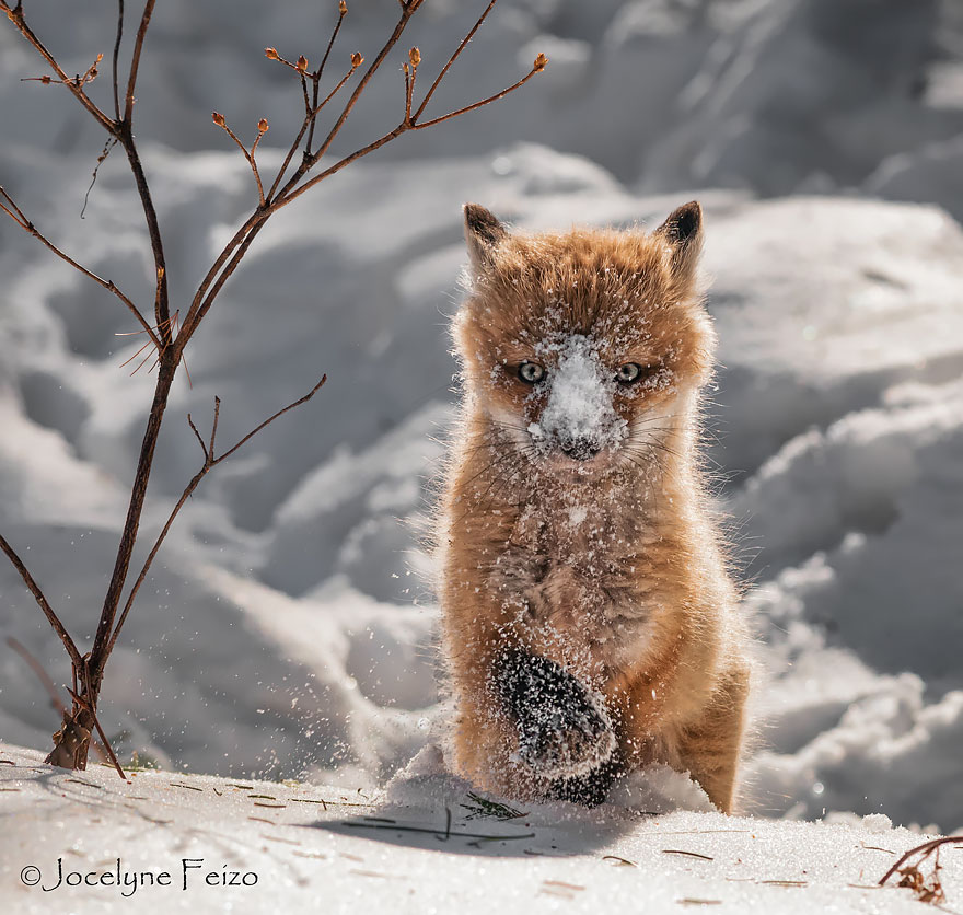 cute-baby-foxes-cubs-15-574436b862c95__880