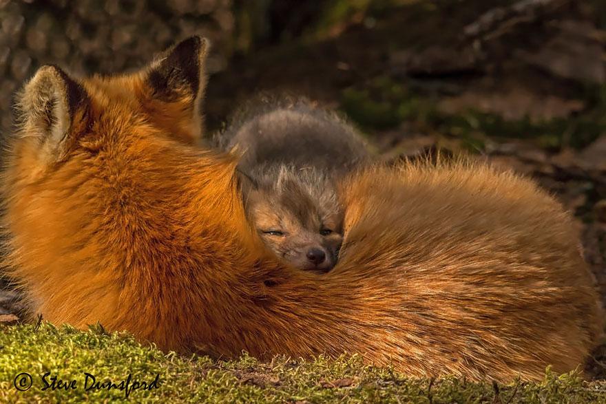 cute-baby-foxes-cubs-16-574436bb7b78a__880
