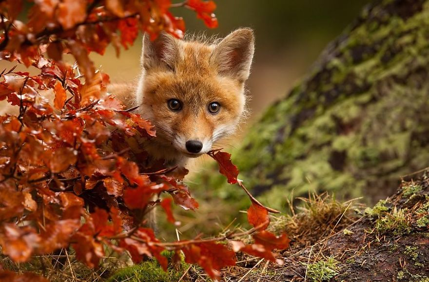 cute-baby-foxes-cubs-21-57444bbab84c9__880