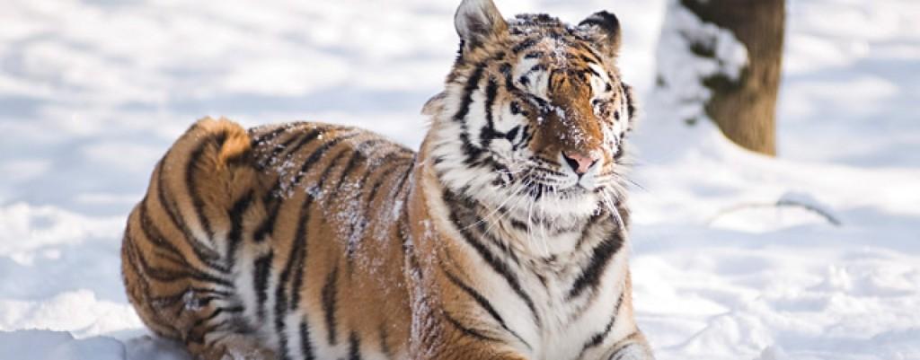 tigris-1440x564_c