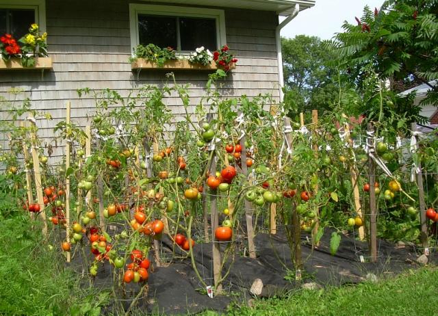 tomatoe-garden-image-of-of-garden-tomatoes-flower-on-amazing-ideas