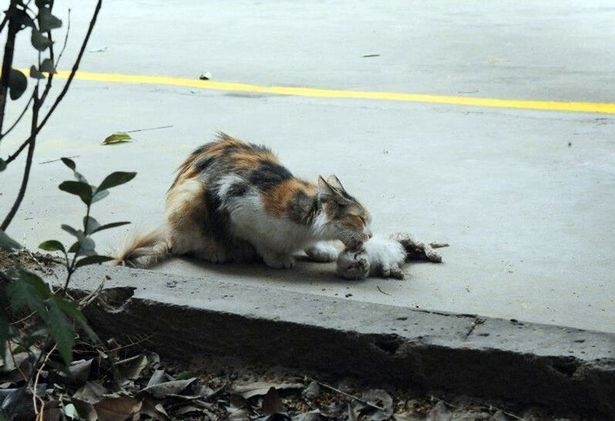 PAY-Stray-cat-mourning-the-death-of-her-kittens