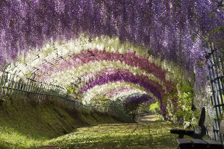 Akác alagút a Kawachi Fuji kertekben