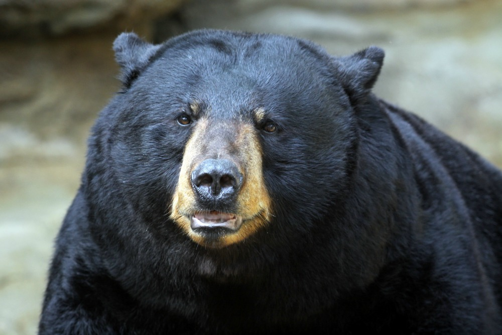 connie-lemperle-black-bear-web