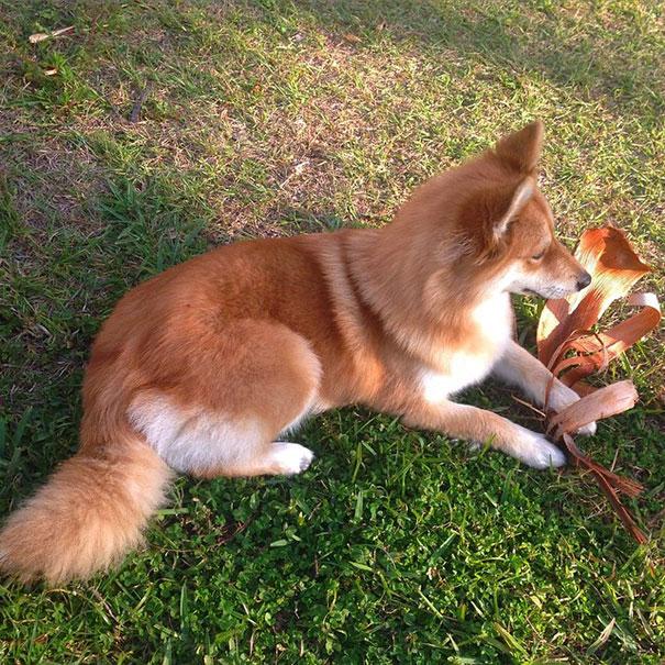 fox-dog-pomeranian-husky-mya-the-pomsky-4