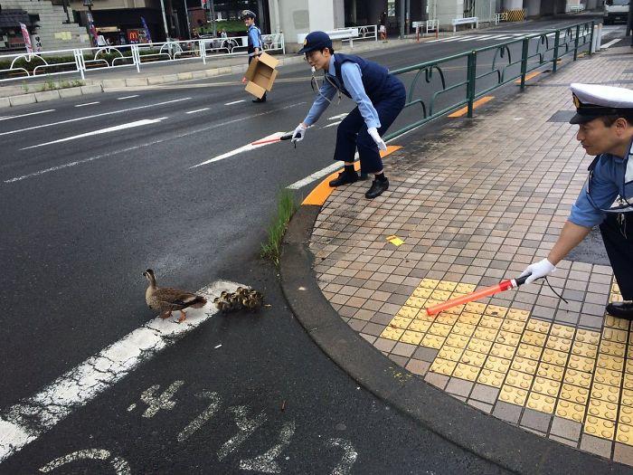 Japán rendőrök segítenek a kacsáknak, hogy átkeljenek az úton.