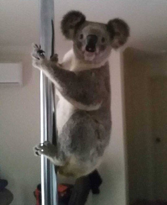 3665CD7200000578-3696715-A_koala_has_been_caught_on_film_shimmying_up_and_down_a_silver_p-m-22_1468893241736
