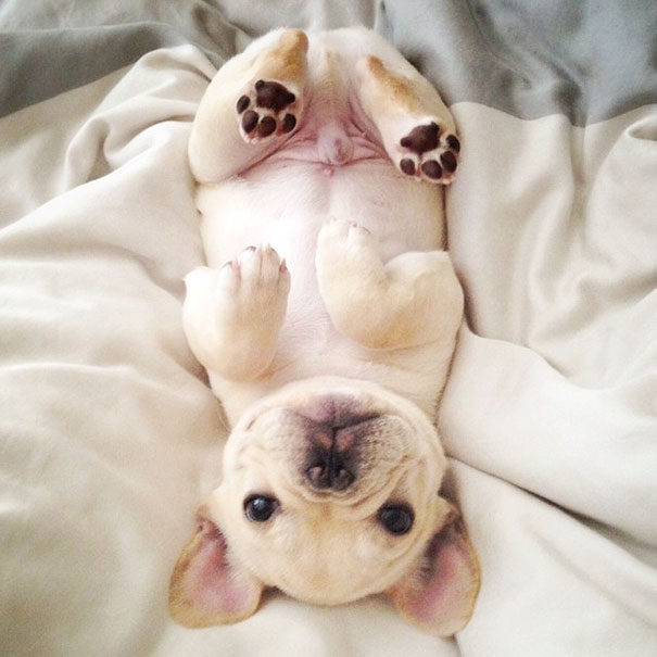 cute-bulldog-smiling-sleeping-dog-narcoleptic-frenchiebutt-millo-31