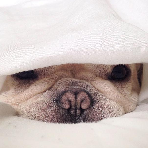 cute-bulldog-smiling-sleeping-dog-narcoleptic-frenchiebutt-millo-5 (1)