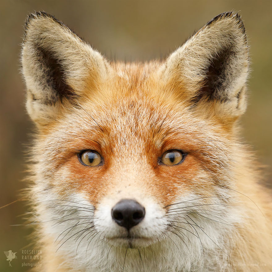 fox-faces-roeselien-raimond-red-fox