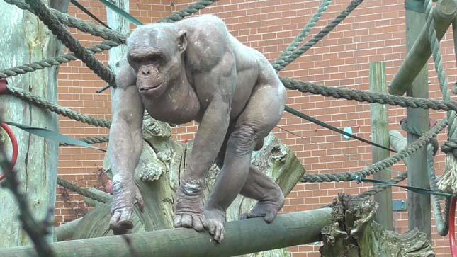 csimpanz-4