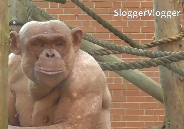 csimpanz-5