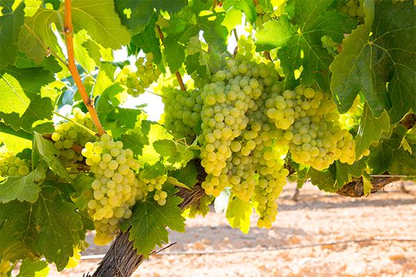 top-10-szőlőfajta-chardonnay-M