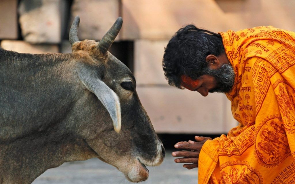 Indiában a marhát szent állatnak tekintik. Fogyasztása pedig nem más, mint az ellenség jelenléte!