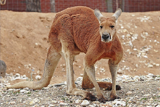 297858_kenguru