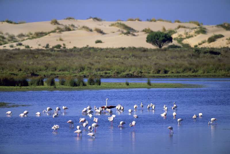 Greater flamingos, Coto Doñana National Park, Spain