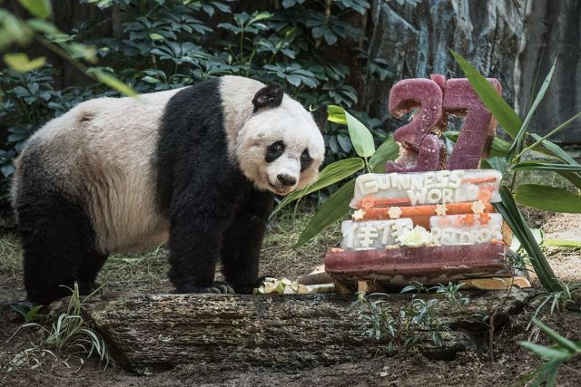 Giant panda Jia Jia stands next to her cake made of ice and fruit juice to mark her 37th birthday at an amusement park in Hong Kong on July 28, 2015. It may not be considered a landmark birthday for humans but turning 37 made Jia Jia the oldest ever giant panda in captivity ageing the equivalent of more than 100-years-old in human terms. AFP PHOTO / Philippe Lopez (Photo credit should read PHILIPPE LOPEZ/AFP/Getty Images)