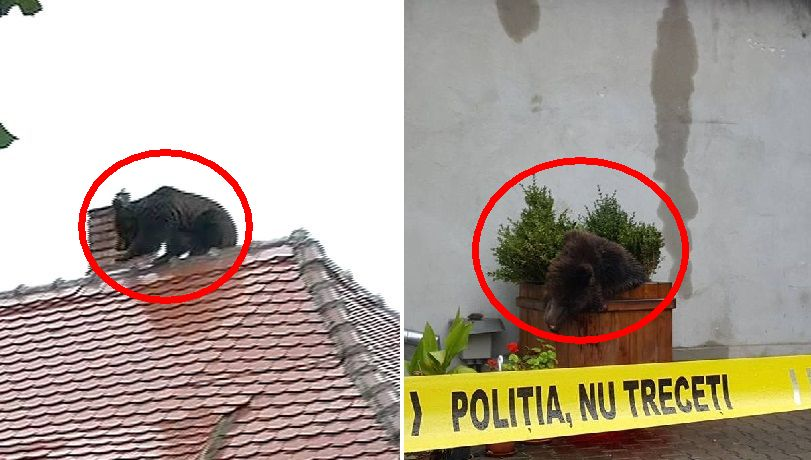 urs-pe-acoperis